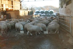Sheep feeding in a barn
